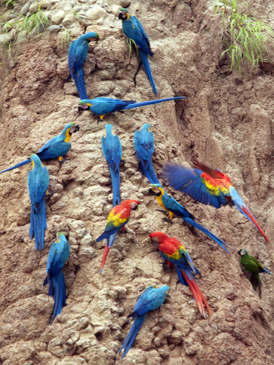 Brian Ralphs - parrots at a clay lick in Peru
